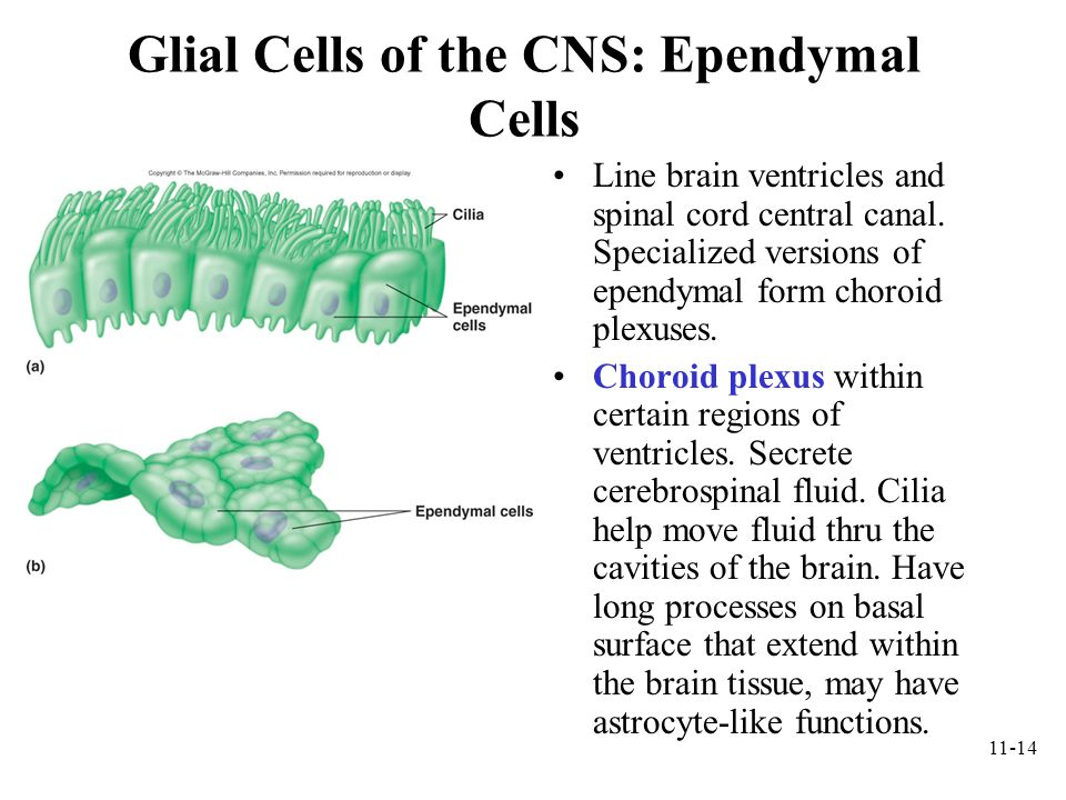 11-14 Glial Cells of the CNS: Ependymal Cells Line brain ventricles and spinal cord central canal. Specialized versions of ependymal form choroid plex