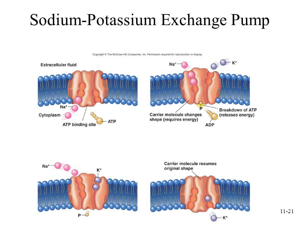 11-21 Sodium-Potassium Exchange Pump