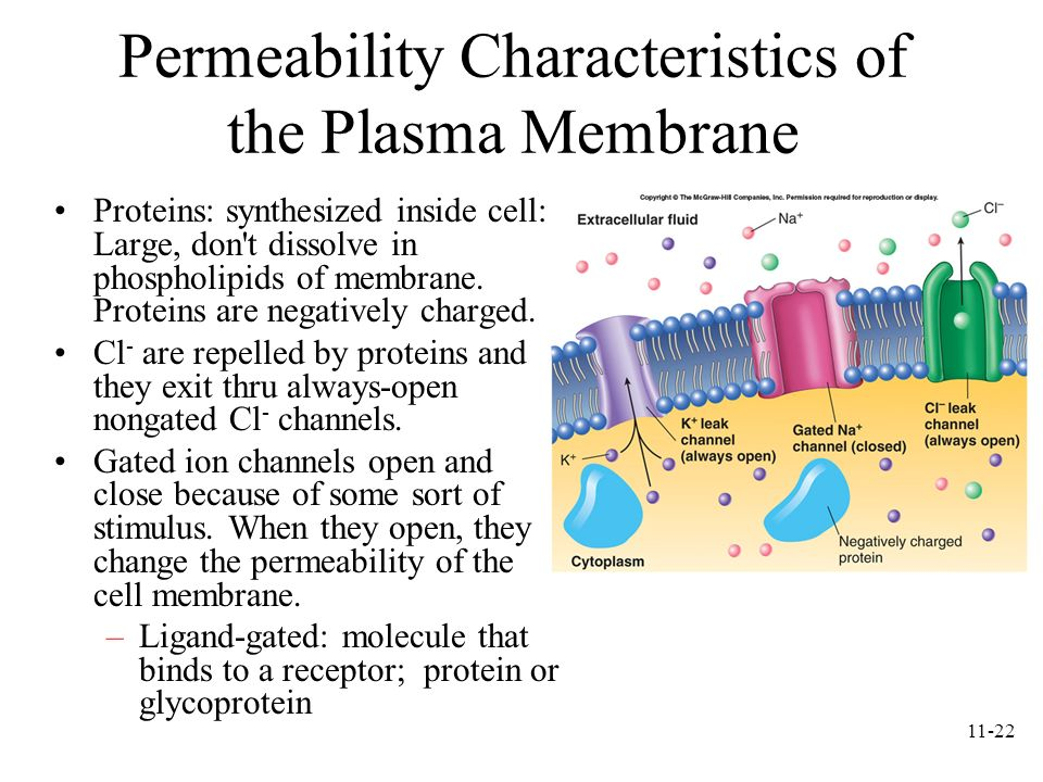 11-22 Permeability Characteristics of the Plasma Membrane Proteins: synthesized inside cell: Large, don't dissolve in phospholipids of membrane. Prote