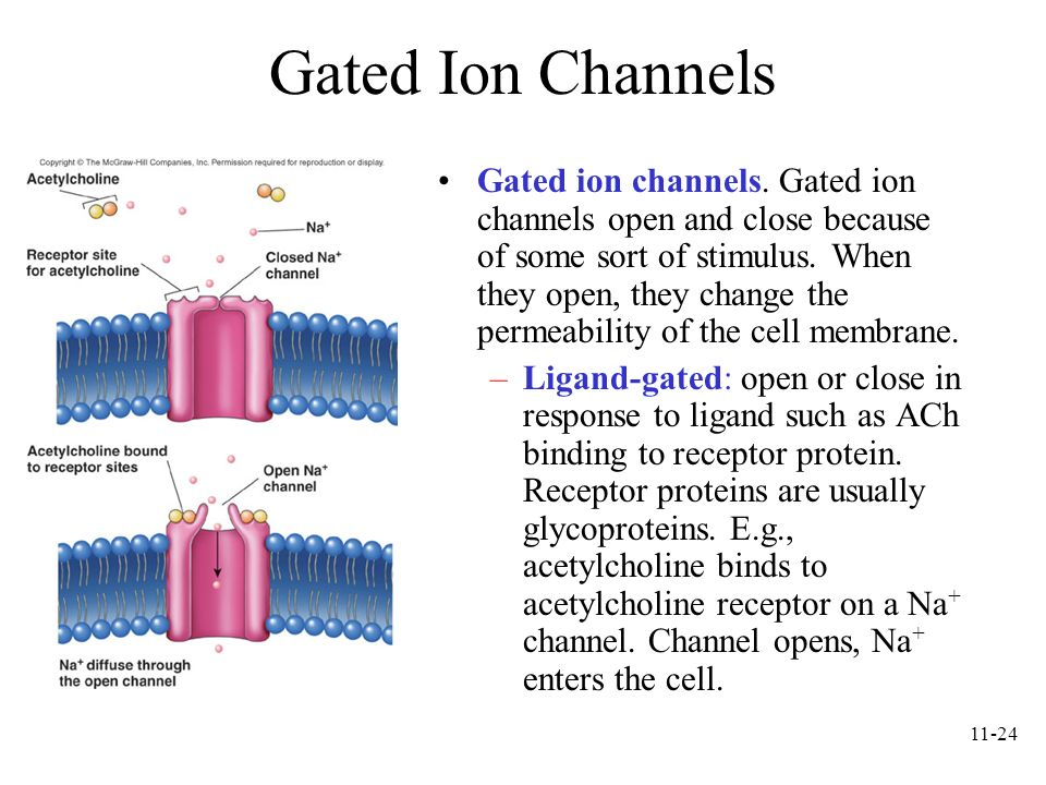 11-24 Gated Ion Channels Gated ion channels. Gated ion channels open and close because of some sort of stimulus. When they open, they change the perme