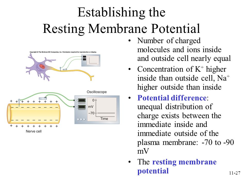 11-27 Establishing the Resting Membrane Potential Number of charged molecules and ions inside and outside cell nearly equal Concentration of K + highe
