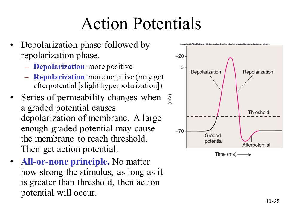11-35 Action Potentials Depolarization phase followed by repolarization phase. –Depolarization: more positive –Repolarization: more negative (may get