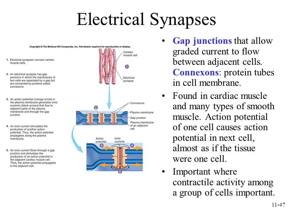 11-47 Electrical Synapses Gap junctions that allow graded current to flow between adjacent cells. Connexons: protein tubes in cell membrane. Found in