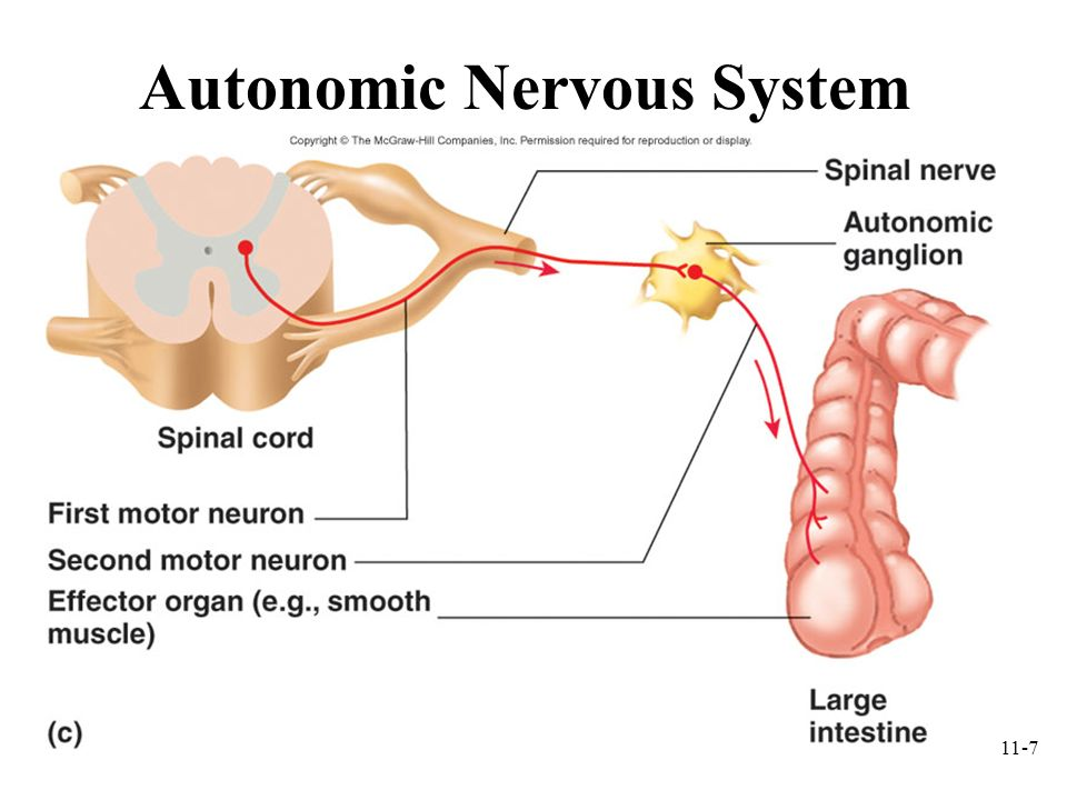 11-8 Organization of the Nervous System Receptor Sensory NS CNS Motor NS Effector