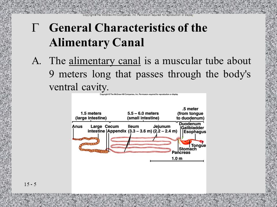 15 - 5 General Characteristics of the Alimentary Canal A.The alimentary canal is a muscular tube about 9 meters long that passes through the body's ve