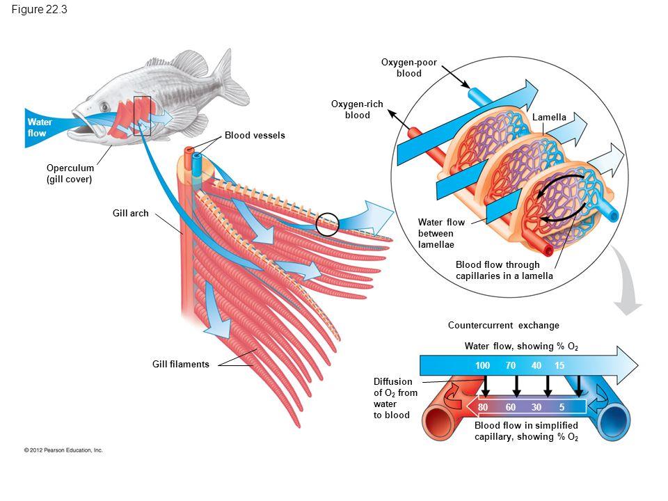 Figure 22.3 Oxygen-poor blood Water flow between lamellae Lamella Blood flow through capillaries in a lamella Oxygen-rich blood Blood vessels Gill arc