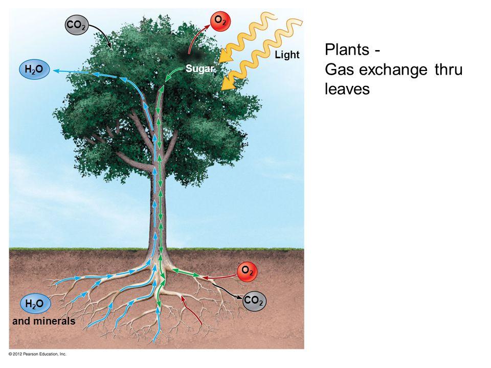 O2O2 H2OH2O Light Sugar O2O2 CO 2 H2OH2O and minerals Plants - Gas exchange thru leaves