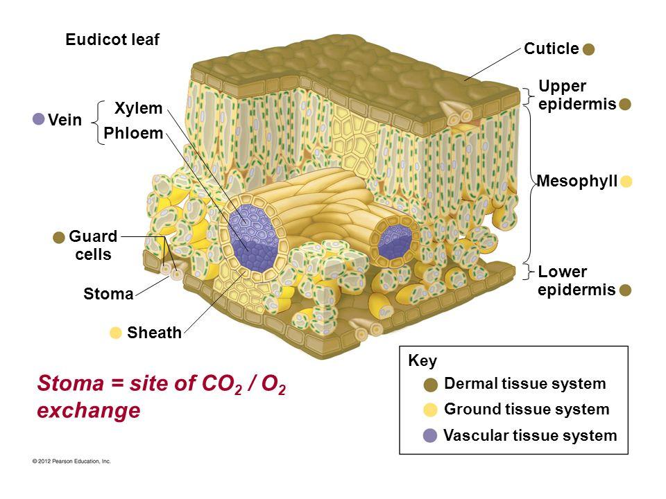 Dermal tissue system Ground tissue system Vascular tissue system Key Sheath Stoma Guard cells Vein Phloem Xylem Eudicot leaf Cuticle Upper epidermis L