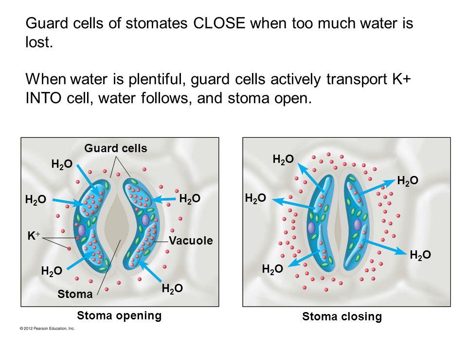 Guard cells Stoma closing Vacuole Stoma H2OH2O H2OH2O H2OH2O H2OH2O H2OH2O K Stoma opening H2OH2O H2OH2O H2OH2O H2OH2O H2OH2O Guard cells of stomates