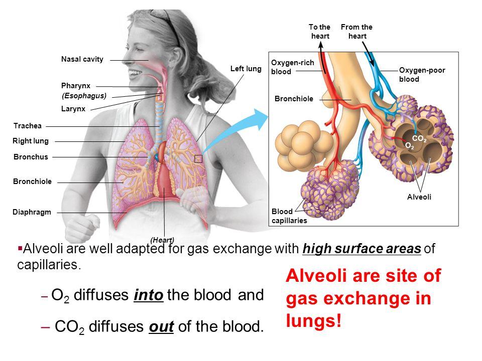 Nasal cavity Pharynx Larynx (Esophagus) Trachea Right lung Bronchus Bronchiole Diaphragm (Heart) Blood capillaries Bronchiole Alveoli CO 2 O2O2 Oxygen