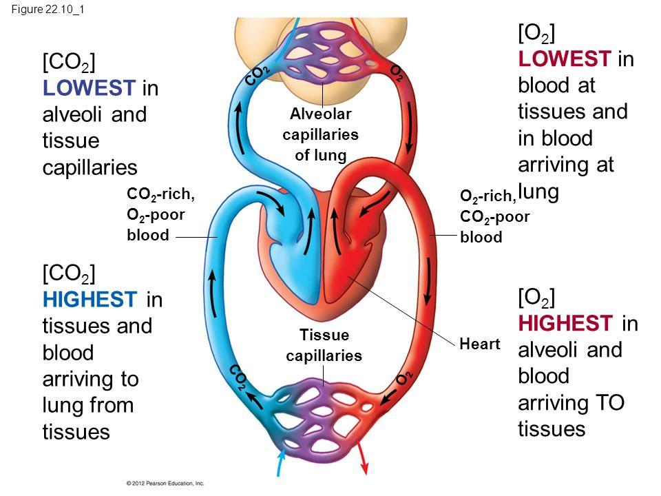 Figure 22.10_1 Alveolar capillaries of lung O2O2 CO 2 CO 2 -rich, O 2 -poor blood O 2 -rich, CO 2 -poor blood Heart Tissue capillaries O2O2 CO 2 [CO 2