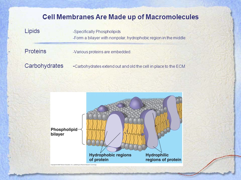 Cell Membranes Are Made up of Macromolecules Lipids -Specifically Phospholipids -Form a bilayer with nonpolar, hydrophobic region in the middle. Prote