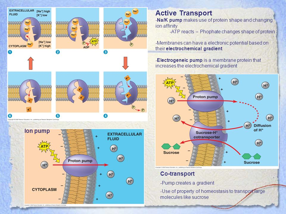 Active Transport -Na/K pump makes use of protein shape and changing ion affinity -ATP reacts – Phophate changes shape of protein -Membranes can have a