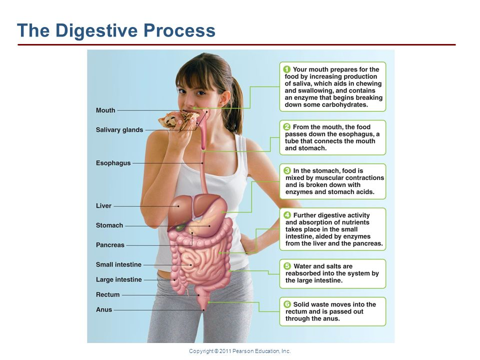 Copyright © 2011 Pearson Education, Inc. The Digestive Process