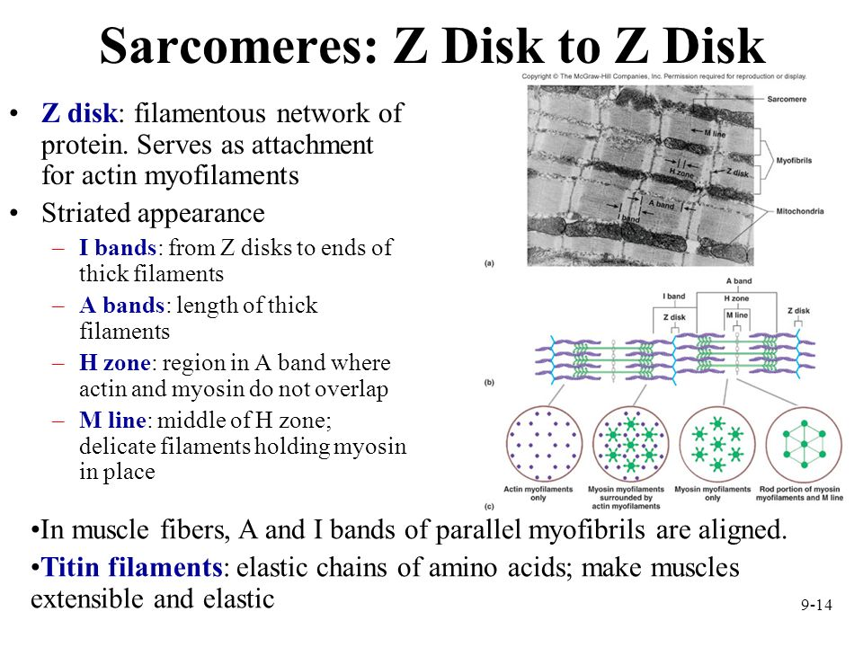 9-14 Sarcomeres: Z Disk to Z Disk Z disk: filamentous network of protein. Serves as attachment for actin myofilaments Striated appearance –I bands: fr
