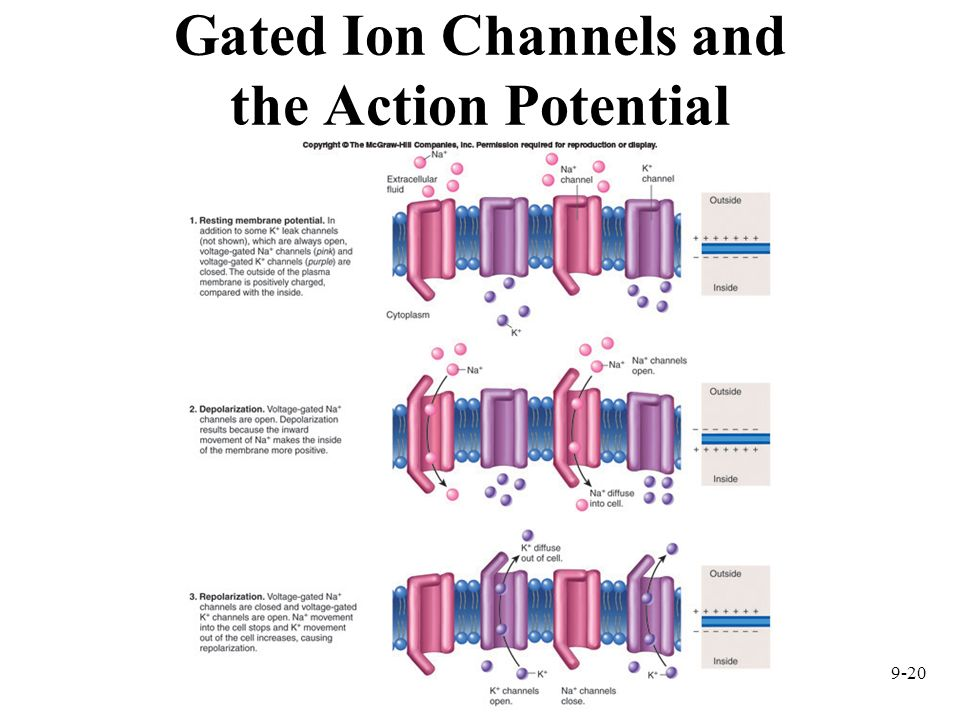 9-20 Gated Ion Channels and the Action Potential