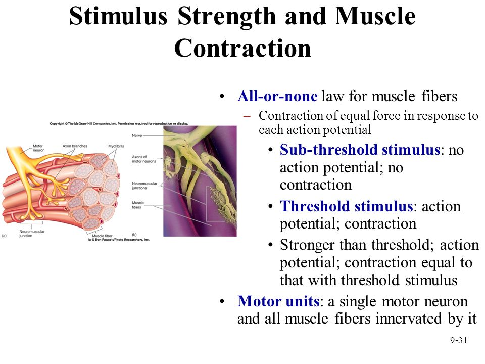 9-31 Stimulus Strength and Muscle Contraction All-or-none law for muscle fibers –Contraction of equal force in response to each action potential Sub-t
