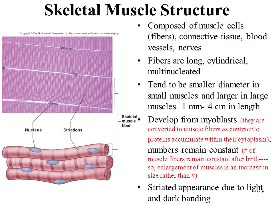 9-6 Skeletal Muscle Structure Composed of muscle cells (fibers), connective tissue, blood vessels, nerves Fibers are long, cylindrical, multinucleated