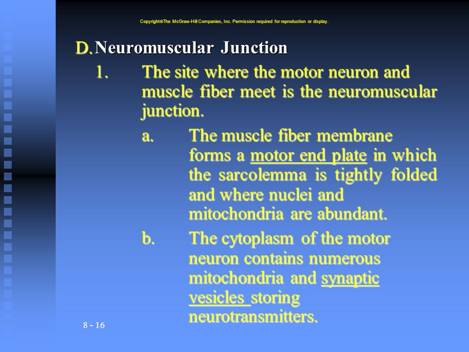 8 - 16 D.Neuromuscular Junction 1.The site where the motor neuron and muscle fiber meet is the neuromuscular junction. a.The muscle fiber membrane for