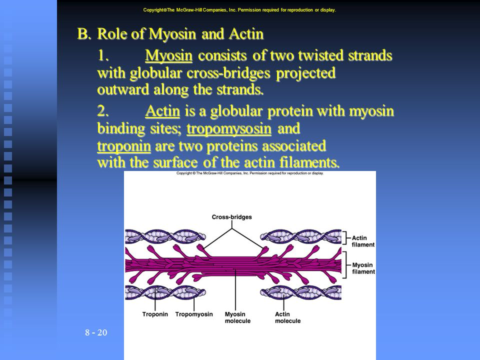 8 - 20 B.Role of Myosin and Actin 1.Myosin consists of two twisted strands with globular cross-bridges projected outward along the strands.