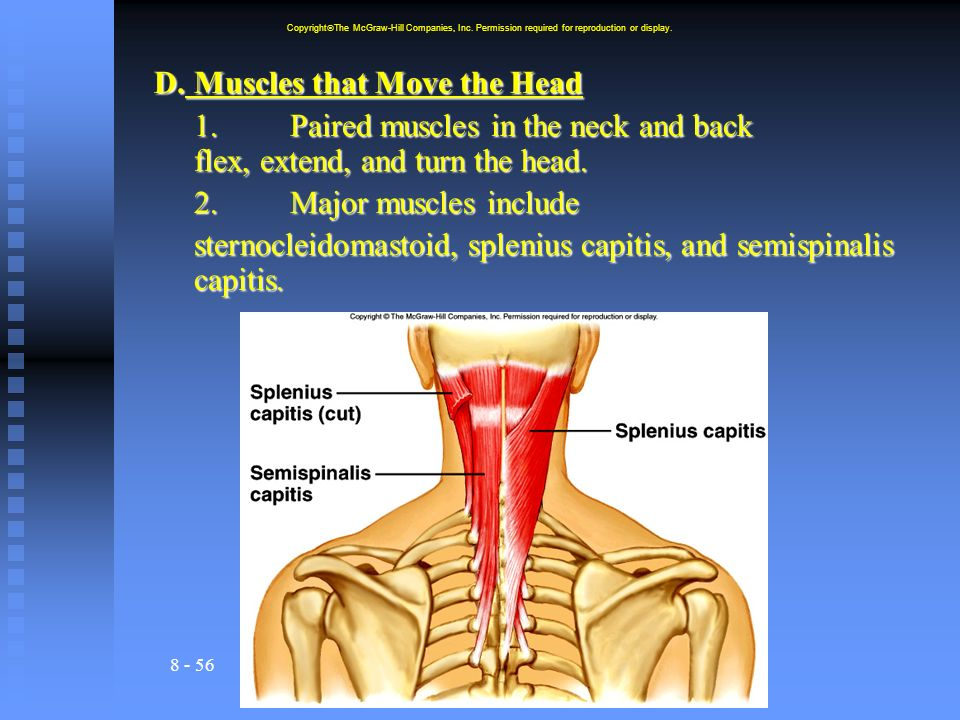 8 - 56 D.Muscles that Move the Head 1.Paired muscles in the neck and back flex, extend, and turn the head. 2. Major muscles include sternocleidomastoi
