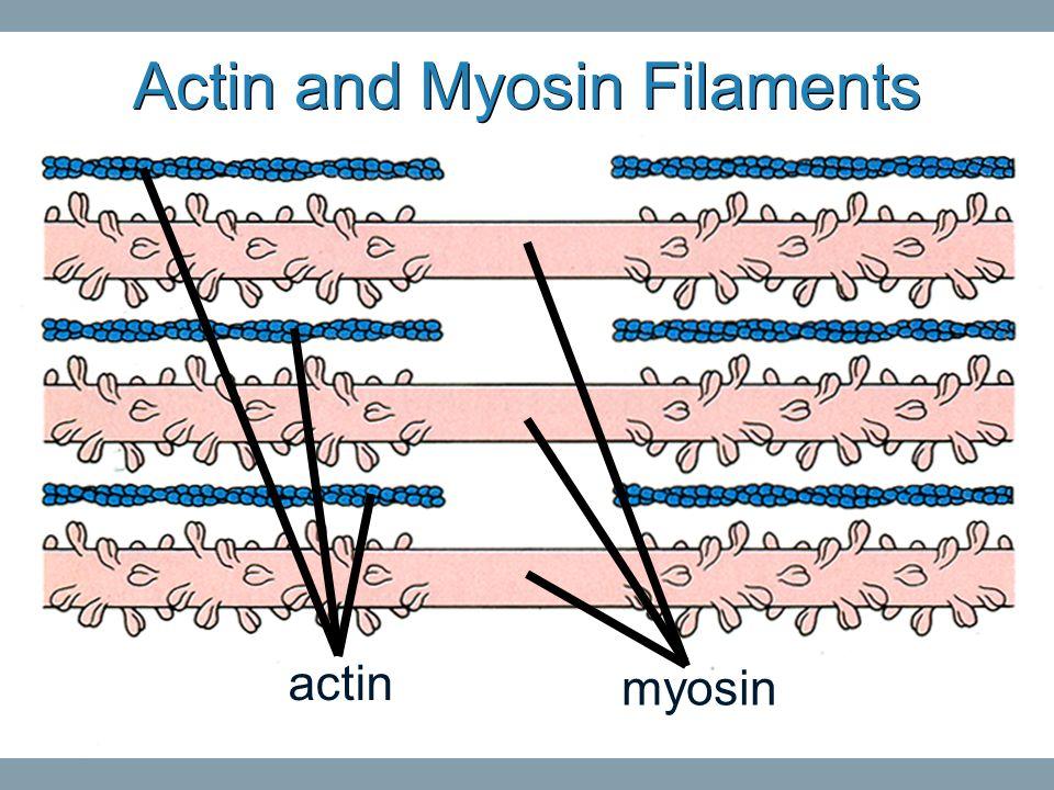 Actin and Myosin Filaments myosin actin