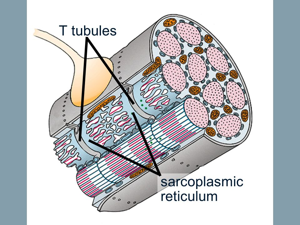 T tubules sarcoplasmic reticulum