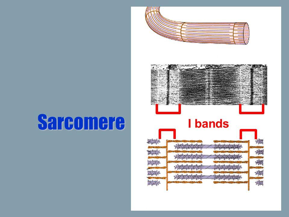 Sarcomere I bands