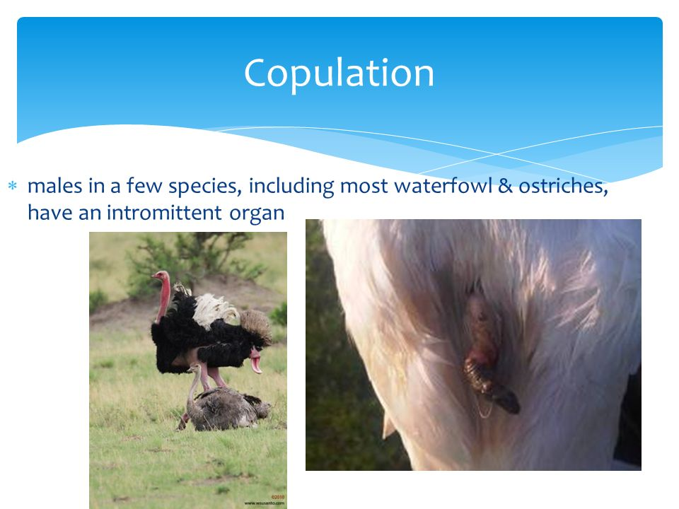 males in a few species, including most waterfowl & ostriches, have an intromittent organ Copulation