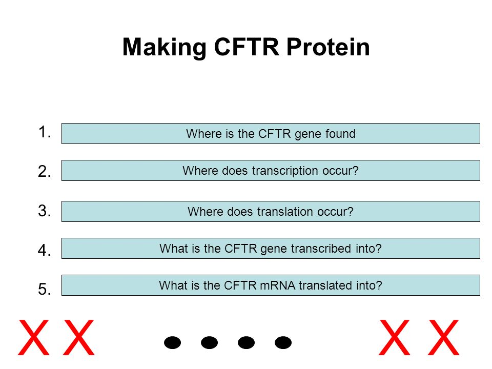 1. 2. 3. 4. 5. On the chromosome In the cell nucleus Cell cytoplasm CFTR messenger RNA Where is the CFTR gene found Where does transcription occur? Wh