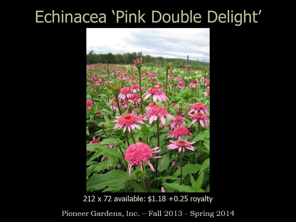 Echinacea Pink Double Delight Pioneer Gardens, Inc. – Fall 2013 - Spring 2014 212 x 72 available: $1.18 +0.25 royalty
