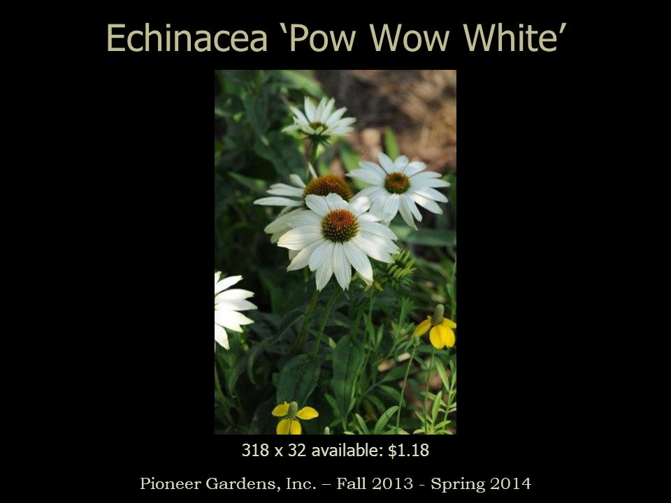 Echinacea Pow Wow White Pioneer Gardens, Inc. – Fall 2013 - Spring 2014 318 x 32 available: $1.18