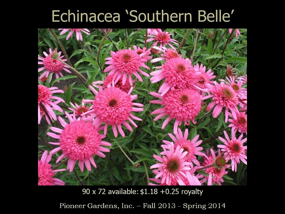 Echinacea Southern Belle Pioneer Gardens, Inc. – Fall 2013 - Spring 2014 90 x 72 available: $1.18 +0.25 royalty