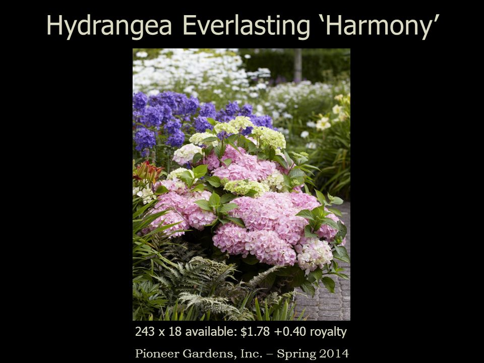 Hydrangea Everlasting Harmony Pioneer Gardens, Inc. – Spring 2014 243 x 18 available: $1.78 +0.40 royalty