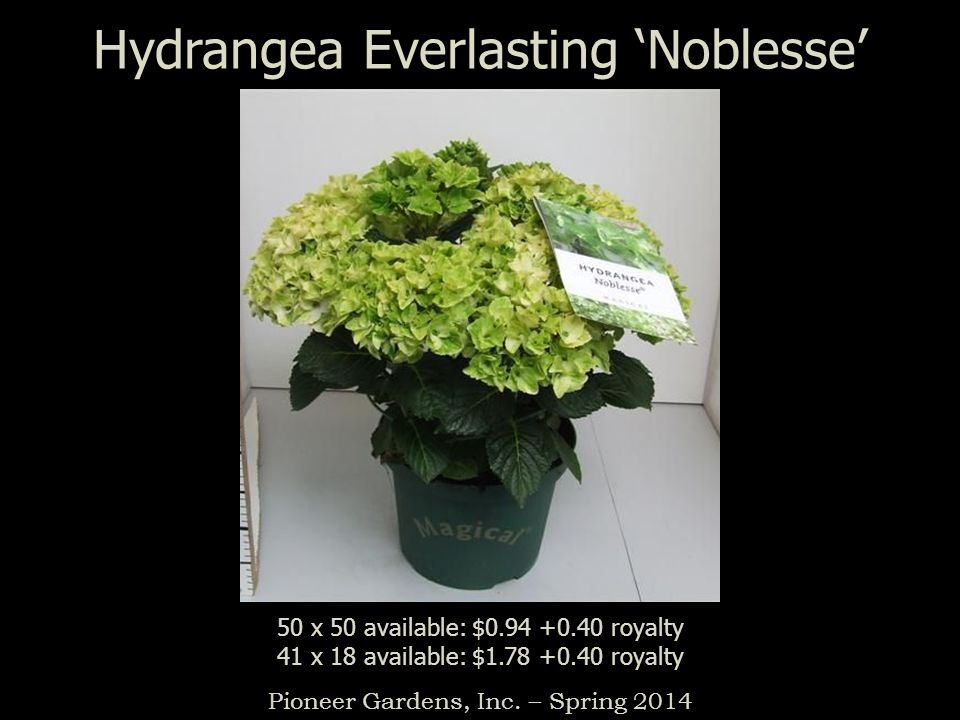 Hydrangea Everlasting Noblesse Pioneer Gardens, Inc. – Spring 2014 50 x 50 available: $0.94 +0.40 royalty 41 x 18 available: $1.78 +0.40 royalty