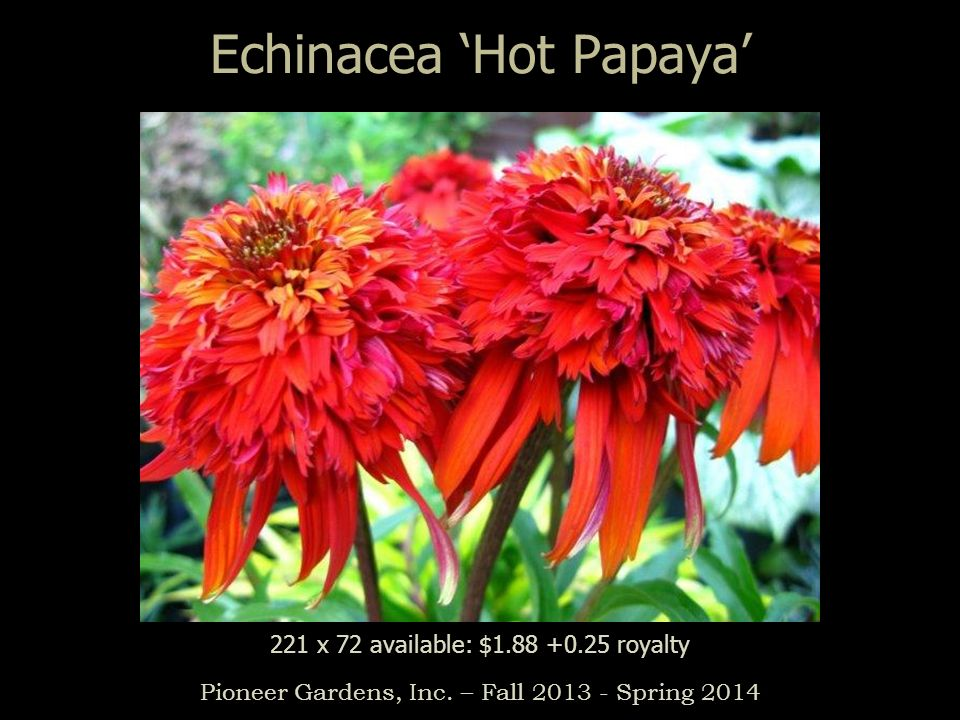 Echinacea Hot Papaya Pioneer Gardens, Inc. – Fall 2013 - Spring 2014 221 x 72 available: $1.88 +0.25 royalty