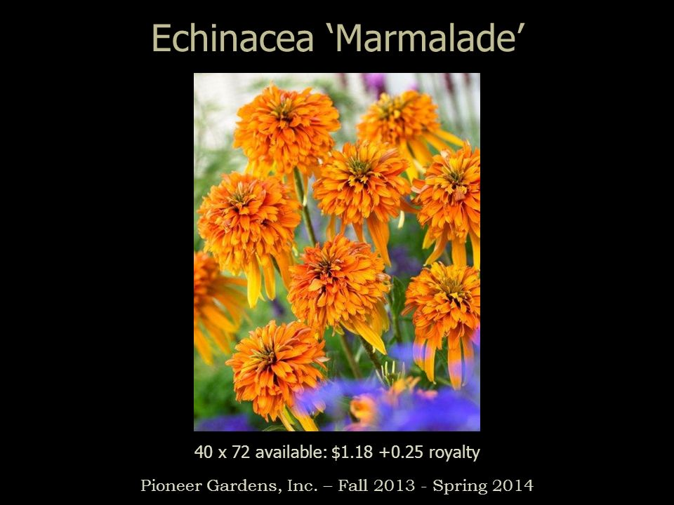 Echinacea Marmalade Pioneer Gardens, Inc. – Fall 2013 - Spring 2014 40 x 72 available: $1.18 +0.25 royalty