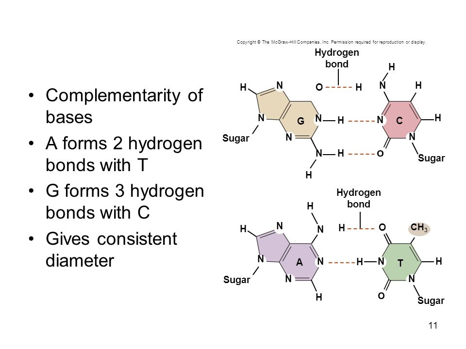 Complementarity of bases A forms 2 hydrogen bonds with T G forms 3 hydrogen bonds with C Gives consistent diameter 11 Copyright © The McGraw-Hill Comp