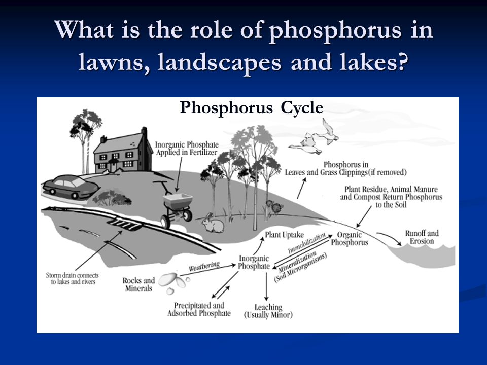 What is the role of phosphorus in lawns, landscapes and lakes Phosphorus Cycle