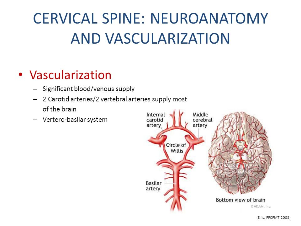 CERVICAL SPINE: NEUROANATOMY AND VASCULARIZATION Vascularization – Significant blood/venous supply – 2 Carotid arteries/2 vertebral arteries supply mo