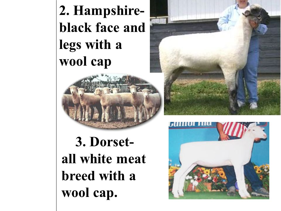 C. Meat breeds 1. Suffolk- bald black head/ legs.