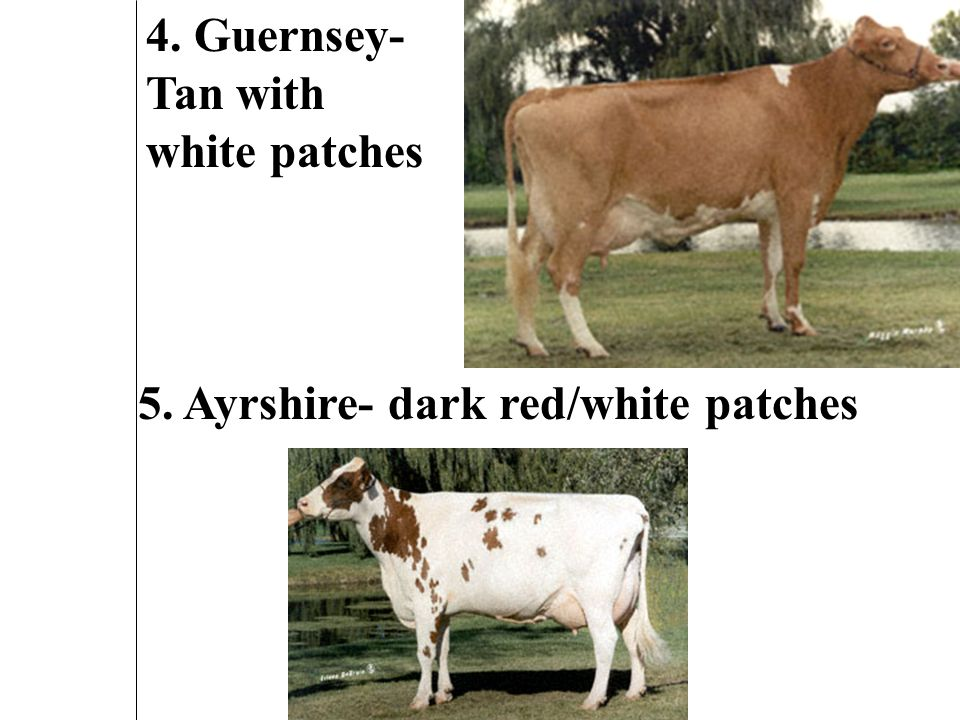 2. Brown Swiss- Brown to gray with black eyes and muzzle 3. Jersey- small, tan with black face