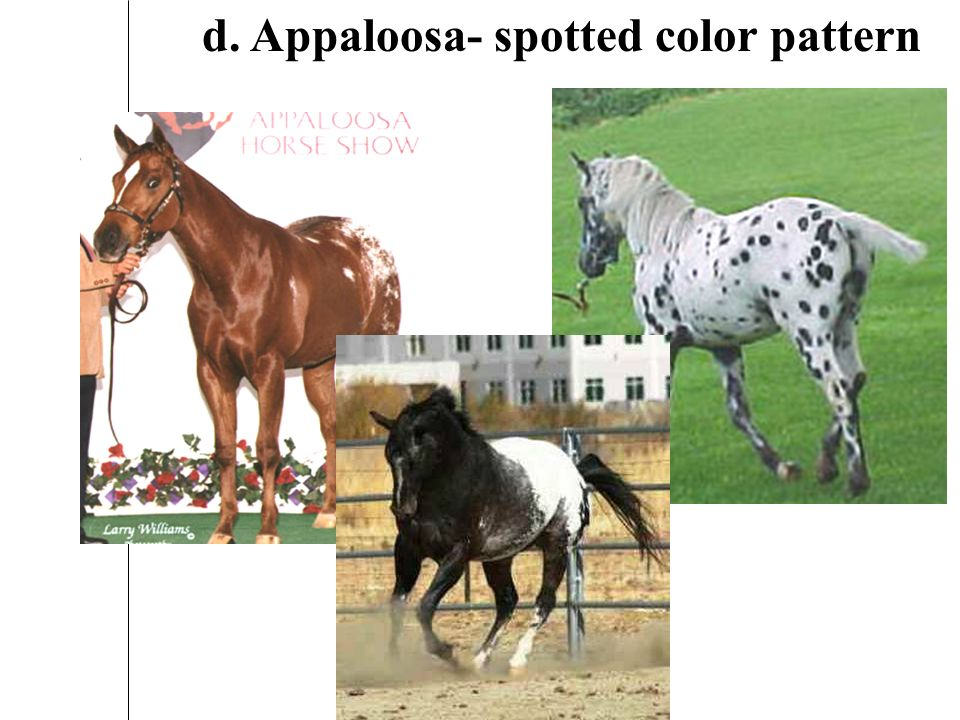 c. Paint- solid color/white patches Tobiano Overo