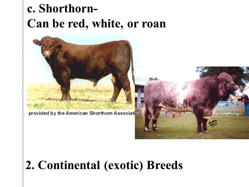 c. Shorthorn- Can be red, white, or roan 2. Continental (exotic) Breeds