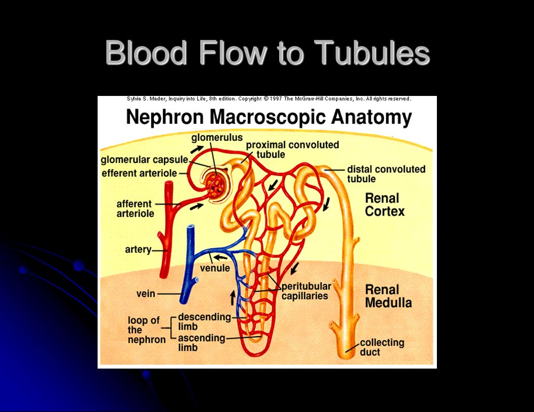 Blood Flow to Tubules
