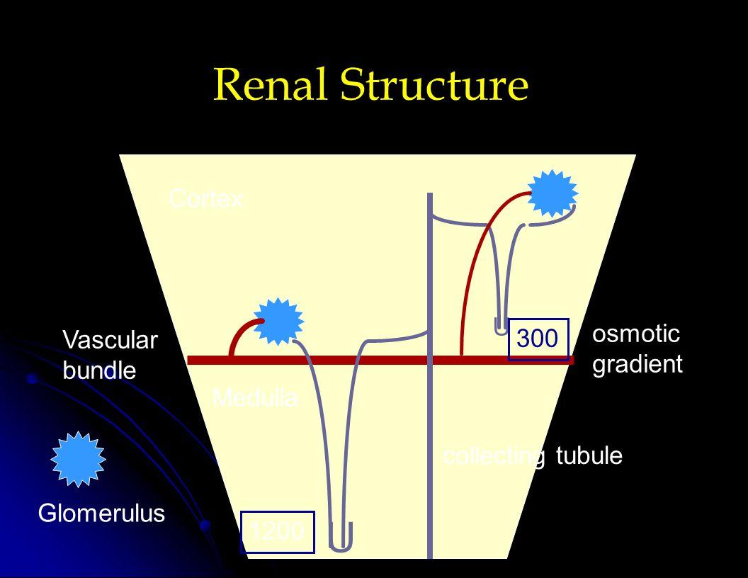 Renal Structure U U 300 1200 Cortex Medulla Glomerulus Vascular bundle osmotic gradient collecting tubule