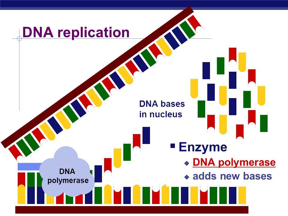 DNA replication Strands unzip at the weak bonds between bases