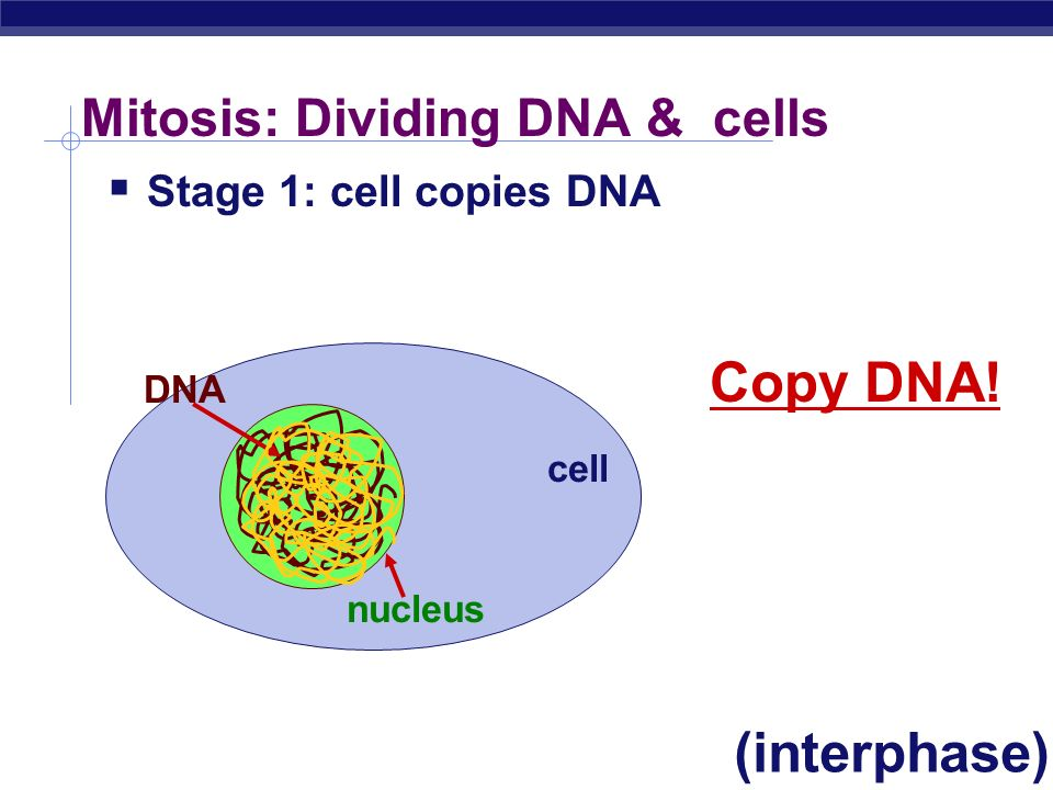 DNA must be duplicated… nucleus cell DNA in chromosomes nucleus cell duplicated chromosomes chromosomes in cell 4 single-stranded chromosomes duplicat