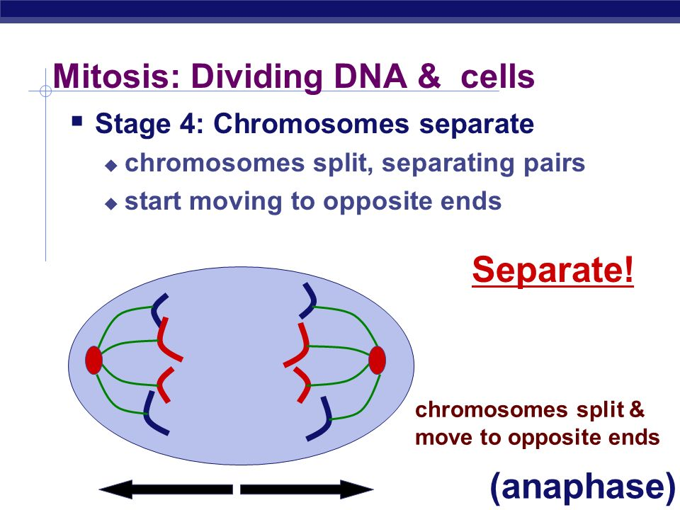 Mitosis: Dividing DNA & cells Stage 3: Chromosomes line up chromosomes line up in middle attached to protein cables that will help them move duplicate