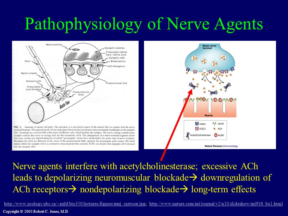 Copyright © 2003 Robert C. Jones, M.D. Pathophysiology of Nerve Agents http://www.zoology.ubc.ca/~auld/bio350/lectures/figures/nmj_cartoon.jpghttp://w